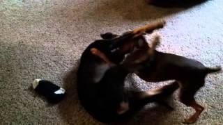 Min Pin Pup Vs Doberman Cross Pup