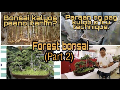 Paano Mag Tanim Ng Bonsai Kalyos Forest (part 2)