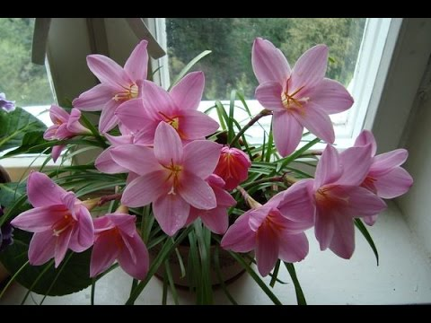 Выскочка цветок - зефирантес