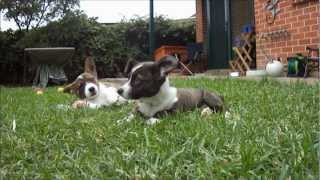 Cute Puppy Ebo's Slow Motion Head Shake (cardigan Welsh Corgi's; 10 Weeks Old)