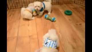 Tiny Toy Teddy Bear Maltese Puppies
