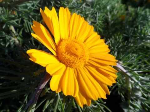 Весна пришла - цветы цветут, поле желтых ромашек, природа Испании, Андалусия, 30/03/2015