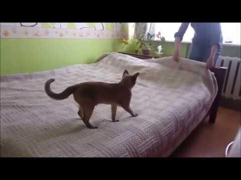 "Burma cat in slowmotion ""Making bed"""