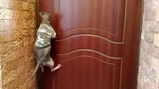 лысый кот (сфинкс) открывает дверь