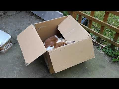 Welsh Springer Spaniel playing in box