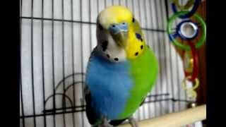 TWINZY.VERY RARE HALFSIDER BUDGIE.TWINS IN ONE.(NOT FAKE)! Tetragametic Chimerism