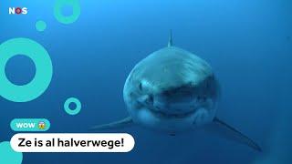 Is een witte haai onderweg naar Europa?