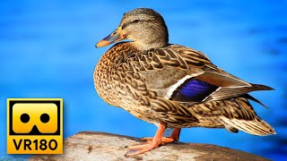 Peaceful Lake Views in VR180 🦆 Relaxing 3D Virtual Reality Experience with Calming Music