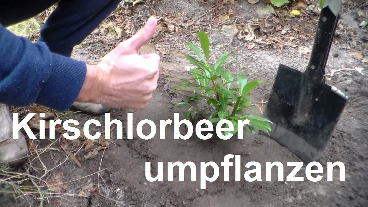 Kirschlorbeer Umpflanzen Im Herbst Oder Frühjahr Youtube