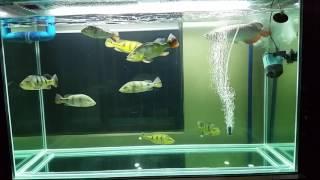 COMMUNITY MONSTER FISH high back golden arowana, peacock bass temensis, azul, monoc, kelberi