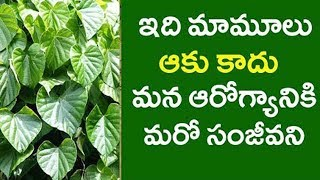 తిప్పతీగ ఆరోగ్యానికి మరో సంజీవని | Tippa Teega Benifits | Prakruthivanam lifetv
