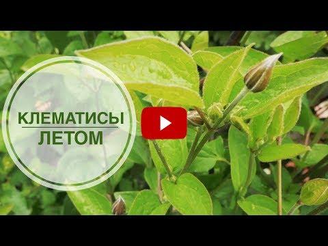 Вопрос: Какие вьющиеся растения для балкона посадить кроме клематиса?