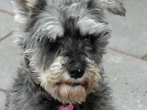 Zague Irish Wolfhound And Chuhis Female Miniature Schnauzer