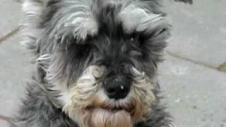 "Zague Irish Wolfhound And Chuhis Female Miniature Schnauzer """
