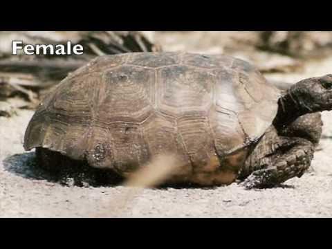 Adult Gopher Tortoise Male and Female Anatomy - YouTube