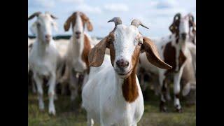Minecraft Skywars   Goat