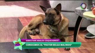 Pastor belga malinois, el perro favorito del momento
