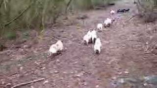 Pug Breeder In Petworth Uk