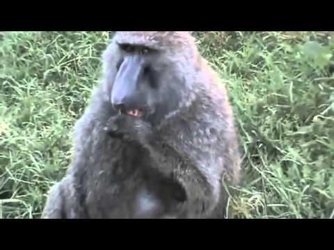 Utanan Maymun .avi