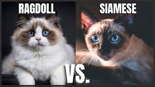 Ragdoll Cat VS. Siamese Cat