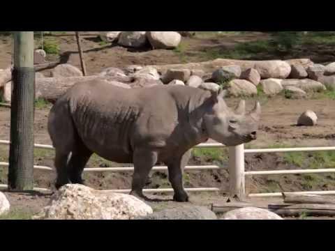 Black Rhinos at Blank Park Zoo