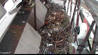 Big Red Lays First Egg Of 2018 On Red-tailed Hawk Cam!!! – (PTZ cam view) – Mar 16, 2018 thumbnail