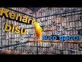 Suara Kenari Nembak Pancingan Kenari Gacor Kenari Gacor Untuk Masteran Durasi Panjang  Mp3 - Mp4 Download