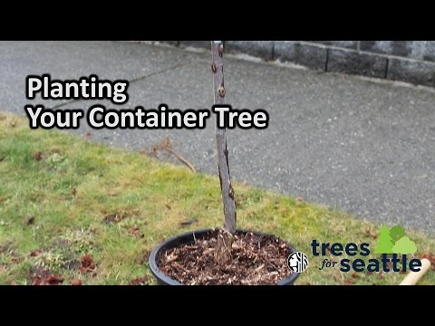 Trees for Seattle: Planting Your Container Tree