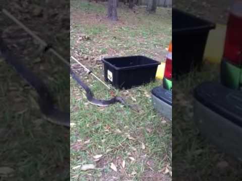 Huge Moccasin Snake Caught in Jacksonville, Florida
