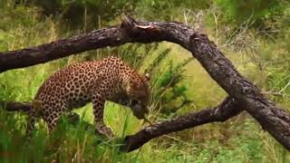 Amazing Elephant Herd Chasing Leopard To Save Baby Monkey - Animals Save Other Animals