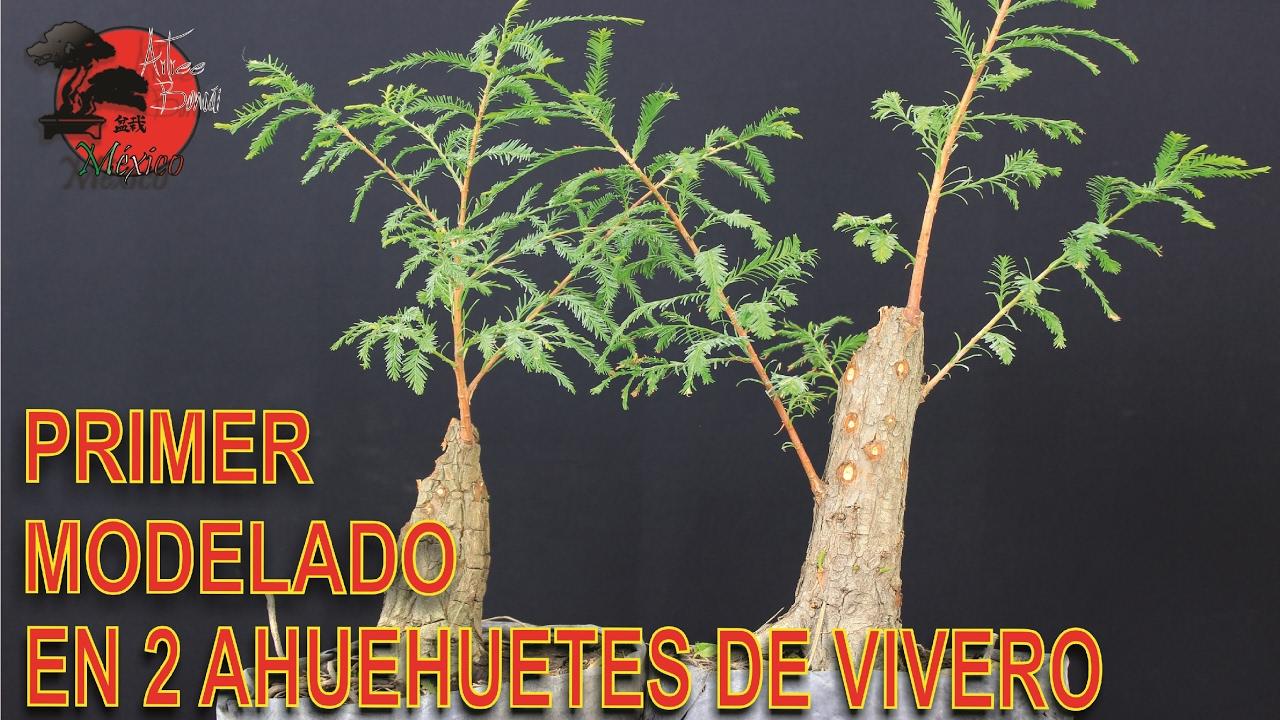 C mo hacer un bonsai con ahuehuetes de vivero parte 1 for Como establecer un vivero