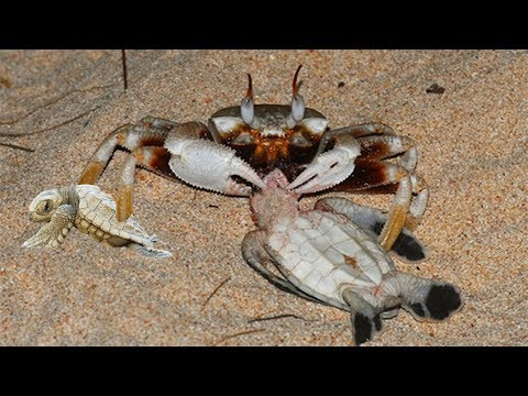 CRAB VS SEA TURTLES | Harsh Life Of Baby Animals