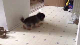 Mini Pomeranian Moon Walk
