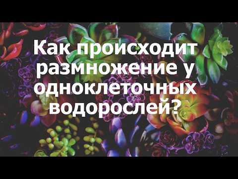 Как происходит размножение у одноклеточных водорослей?