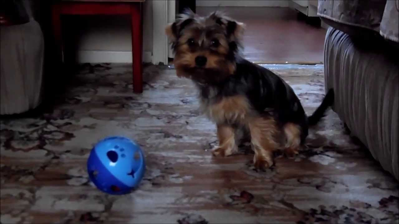 Rolo With His Cat Toy 5 Month Old Yorkshire Terrier Puppy Youtube