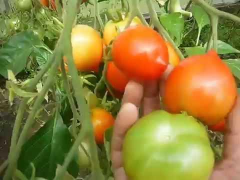любимые сорта томатов,продолжение