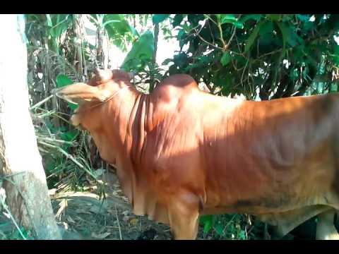 Phối giống bò lai sind ở ấp tường 3B xa vĩnh thanh huyện phước long ĐT:01638920009