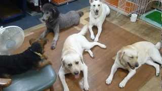 お勉強中の犬たち。 ラブラドールレトリバー×2・スタンダードプードル・...