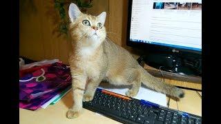 Шотландский кот Жульен, окрас ny25, возраст 4,5 месяца.