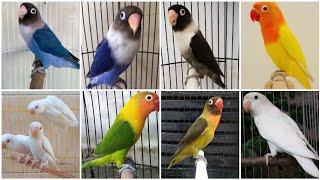 BOCORAN!!!! harga burung lovebird awal tahun 2020