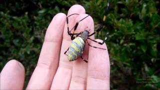 Jorō Spider (Nephila Clavata) on My Hand ジョロウグモを手にのせる