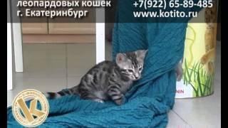 Бенгальский котенок Екатеринбург