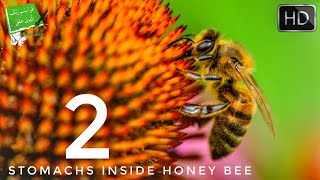 2 STOMACHS INSIDE A HONEY BEE (MIRACLE OF QURAN)
