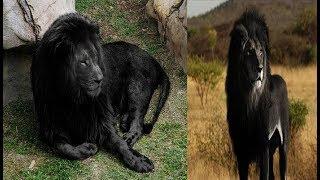 दुनिया का इकलौता काला शेर, जानिए कहां मिला...