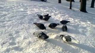 Зимові голуби