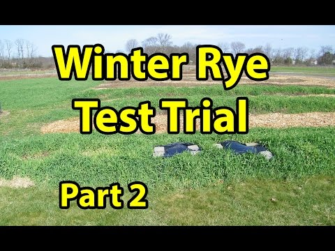 Winter Rye Cover Crop Test Trial for No Till Organic gardening 101. Part 2