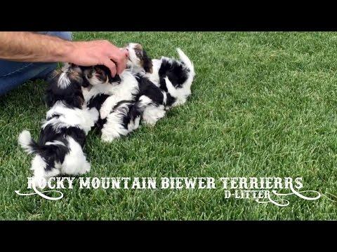 Rocky Mountain Biewer Terriers - D Litter 7 Weeks