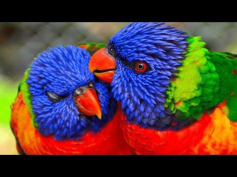 The Australian King Parrot (Alisterus scapularis)