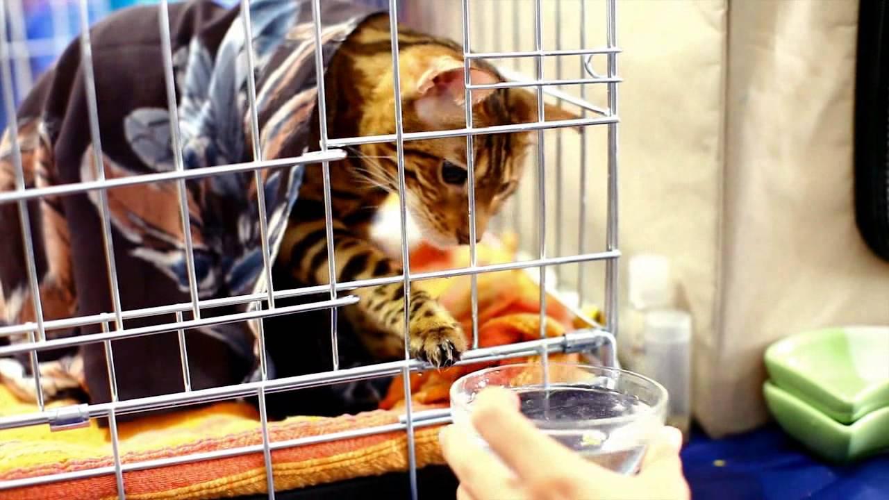 Объявления о продаже кошек и котят, а также бесплатно, безвозмездно то есть даром, в добрые руки в минске и беларуси.