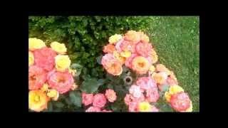 Совет - удобрение для роз(Мой совет - удобрение для роз., 2014-07-20T20:07:31.000Z)